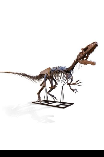 Allosaurus est un genre de dinosaure appartenant au sous-ordre des Theropoda qui prenait place sur Terre, il y a maintenant 153 à 135 millions d'années.